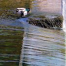 Mallards by the Weir by mikebov