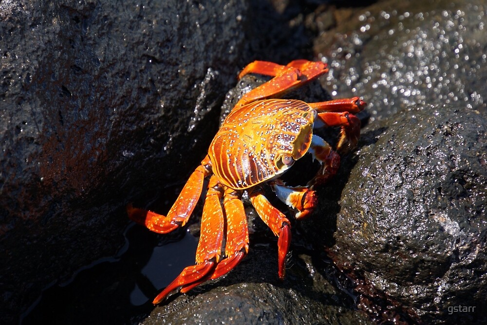 Galapagos Sally lightfoot crab by gstarr