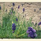 Lavender by BC Family