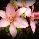 Pink Lily by BC Family