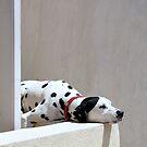 Dalmatian, Oia, Santorini by BC Family