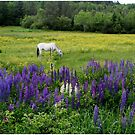 Grazing in the Lupine by Wayne King