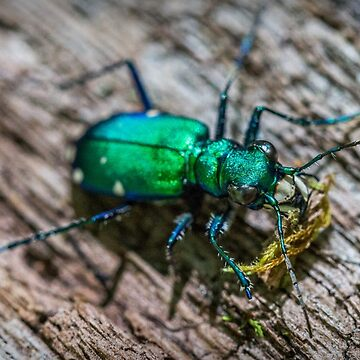 Green Tiger Beetle by evelynlaeschke