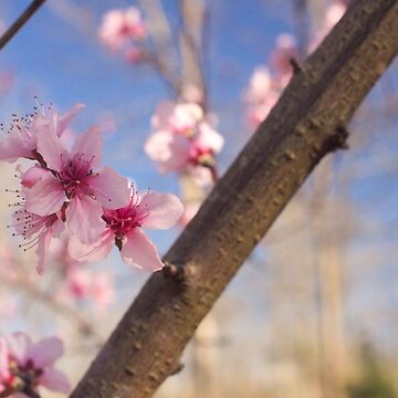 Peach Blossoms in Tennessee by RoomWithAMoose