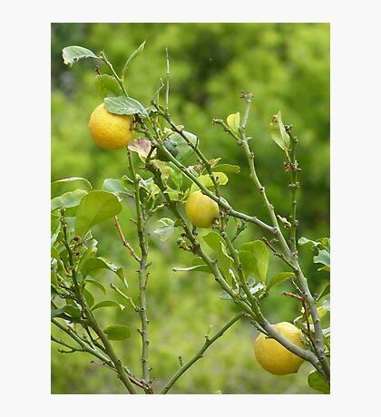 Lemon Tree Photographic Print