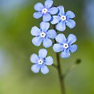 Forget-me-not flowers  by M S Photography/Art