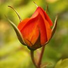 Lovely red rose bud photography. by naturematters