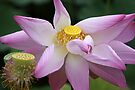 Lotus So Lovely by coffeebean