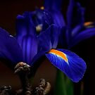 Blue Iris by snapdecisions