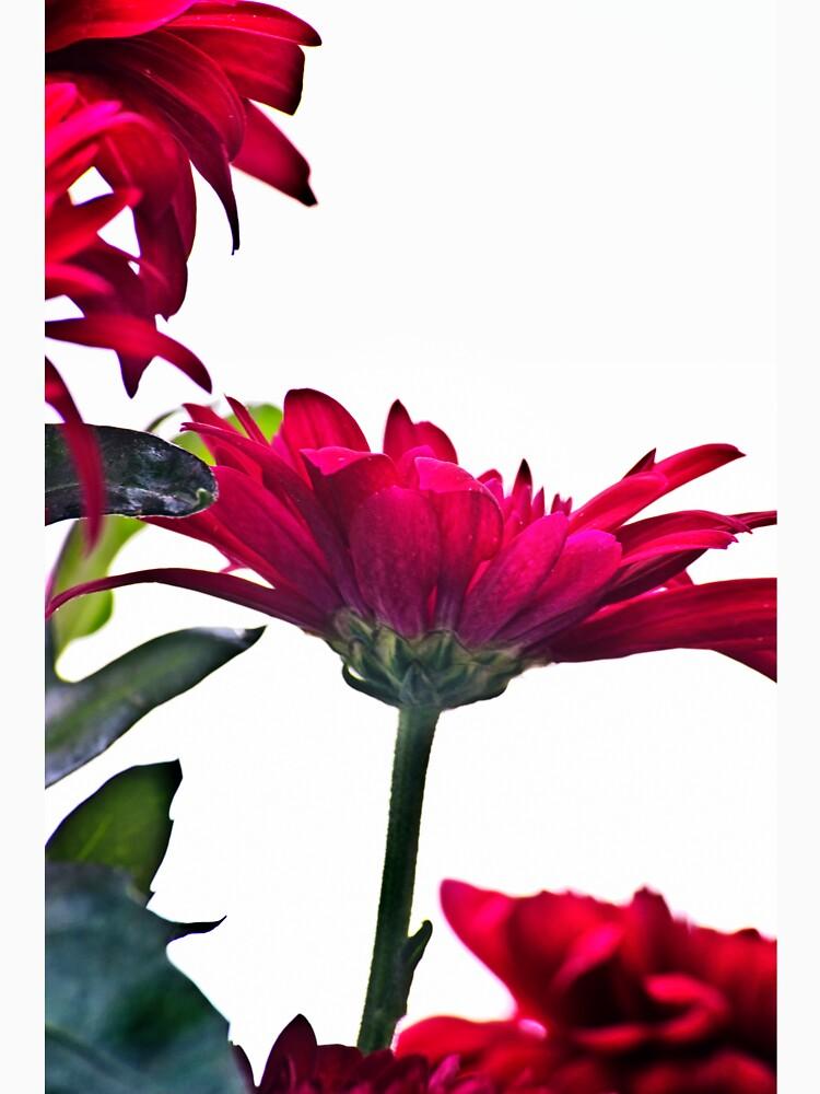 Red Chrysanthemum Flowers by InspiraImage