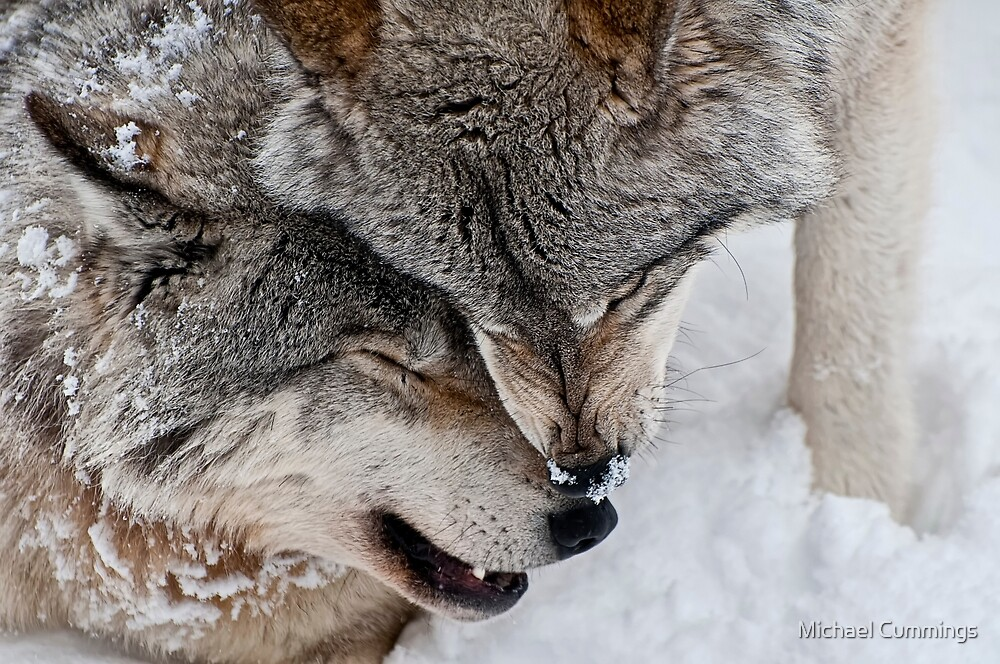 Gray Wolves by Michael Cummings