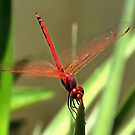 Beautiful Firecracker Dragonfly by taiche