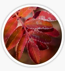 Mountain Ash In Red Sticker
