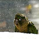 Is It Snowing? - Maroon-Bellied Conure NZ by AndreaEL