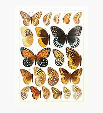 The Macrolepidoptera of the world a systematic account of all the known Butterflies Moths Adalbert Seitz V1 V3 1906 173 Euptoieta Argynnis Photographic Print