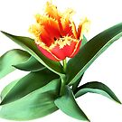 Frilly Orange Tulip by Susan Savad
