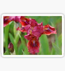 Lady In Red Iris Sticker