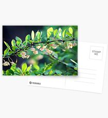 Naturalized Japanese Barberry Blossoms Postcards