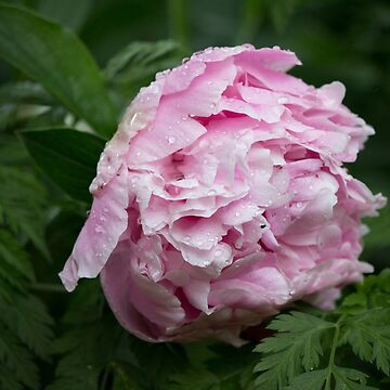 Peony After the Rain by art-pix