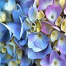 Blue and Pink Hydrangea Flowers  by taiche