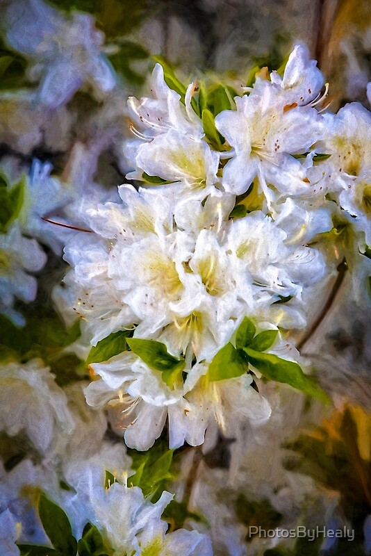 White Rhododendron by Photos by Healy