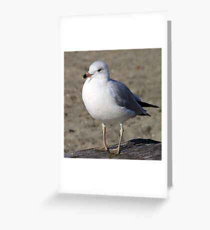 Sea Gull on English Beach, Vancouver, Canada  Greeting Card