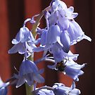 Bluebells with bee by Livvy Young