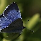 Holly Blue by snapdecisions