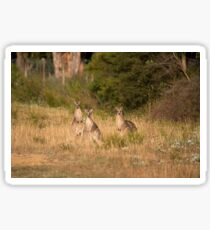 Trio of Posing Kangaroos Sticker