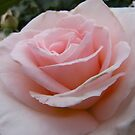 Delicate Pink by Lucinda Walter