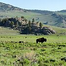 American Bison Herd ~ Yellowstone National Park by Lucinda Walter