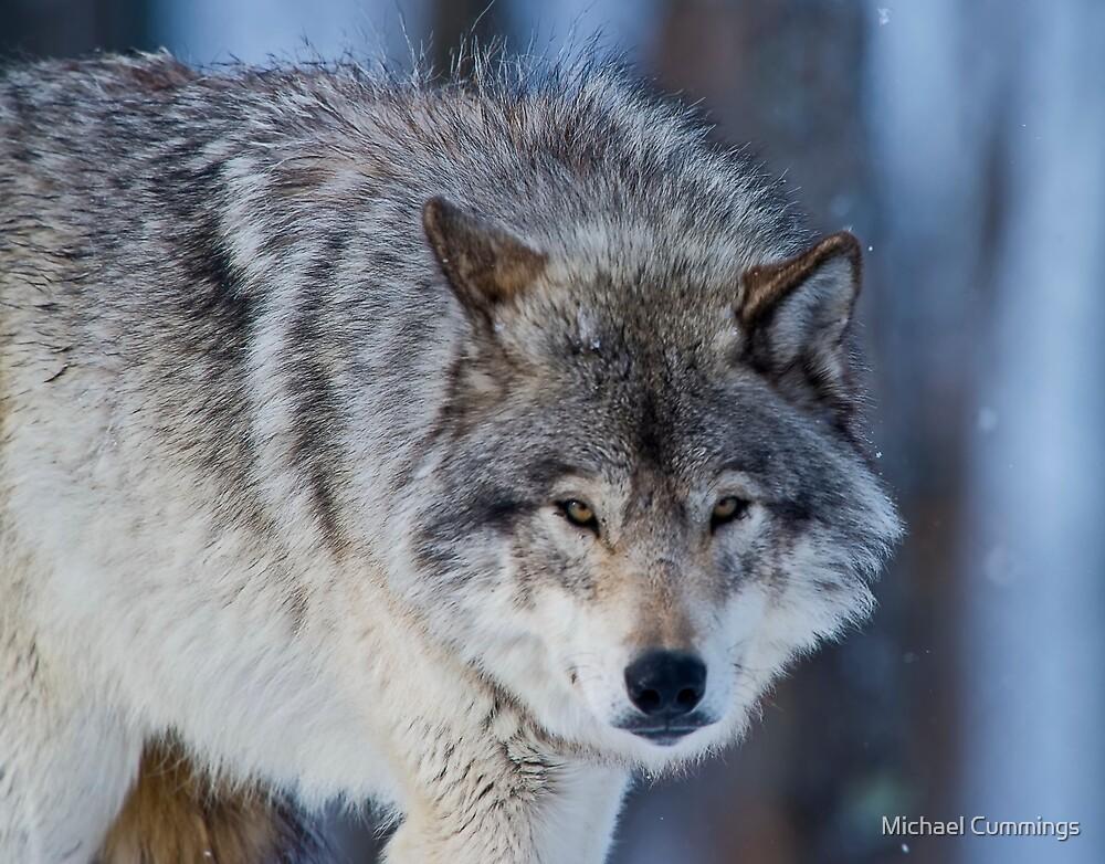 Gray Wolf by Michael Cummings