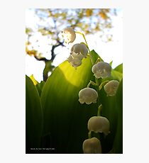 Convallaria Majalis - Lily Of The Valley Flower Filled With Sunrise   Melville, New York Photographic Print