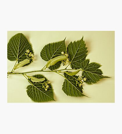 Basswood Leaves And Flowers Photographic Print