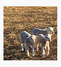 Dorper Lambs Photographic Print