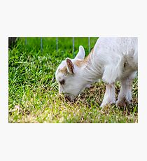 Baby Pygmy Goat  Photographic Print