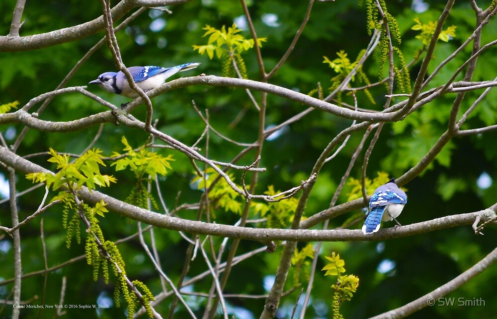 Cyanocitta Cristata - Blue Jays | Center Moriches, New York by © Sophie W. Smith