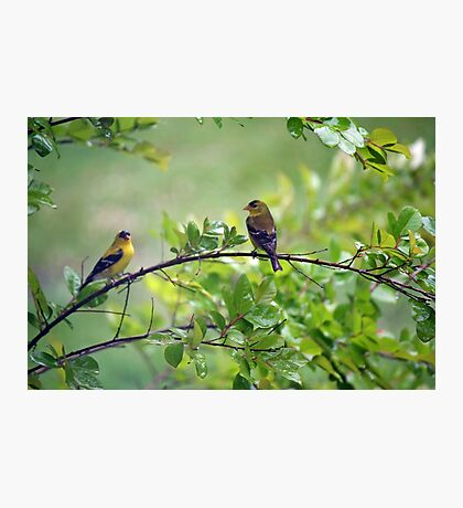 Drenched Goldfinches Photographic Print