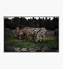 A Zeal of Zebras Photographic Print