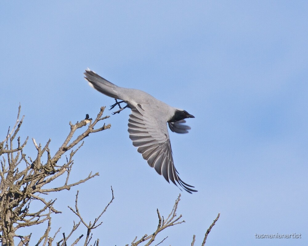 Black-faced Cuckooshrike by tasmanianartist