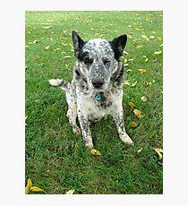 Blue, a working dog Photographic Print