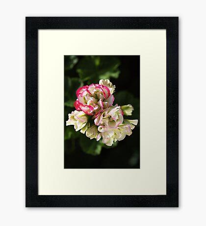 Geranium Soft White and Pink Framed Print