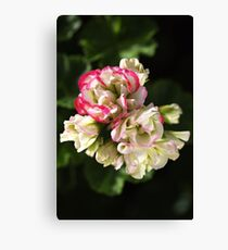 Geranium Soft White and Pink Canvas Print