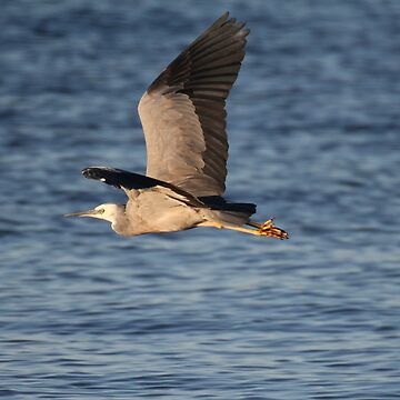australian grey heron by parko