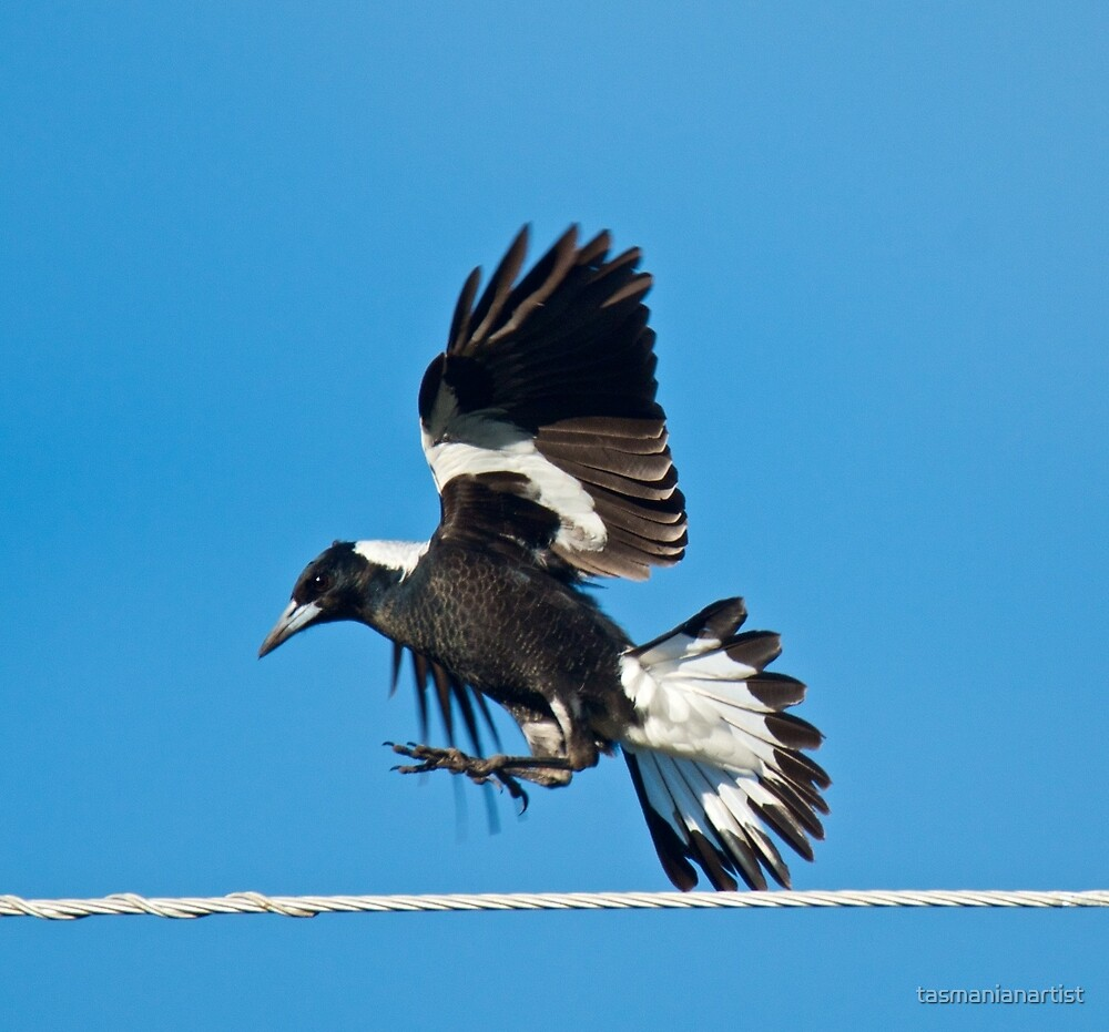 Australian Magpie by David Irwin by tasmanianartist