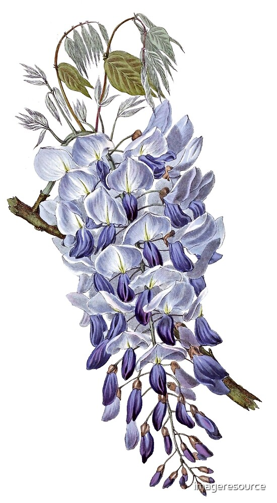 Vintage - Flower - Wisteria by imageresource