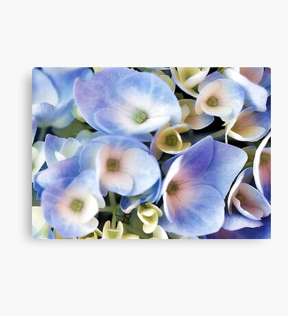 Endless Summer -- Blue Hydrangea Canvas Print