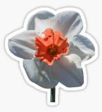 White Daffodil Sticker