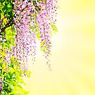 Delicate wisteria flowers in sun by joannsnover