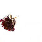 A dead rose, a thing of beauty? by eclectic1